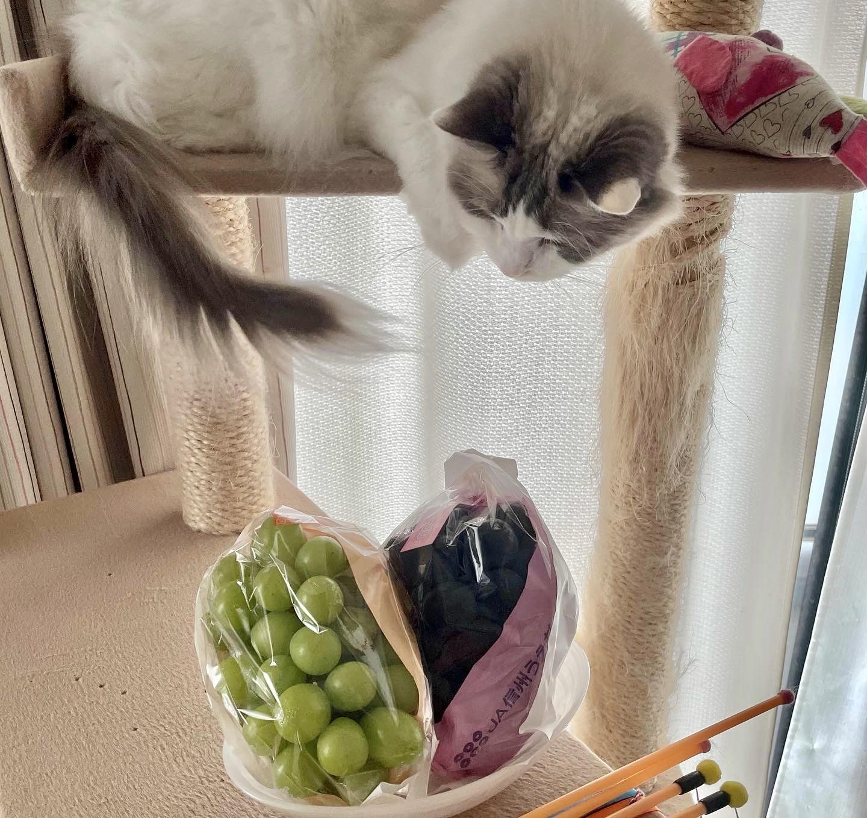 キャットタワーと猫と葡萄