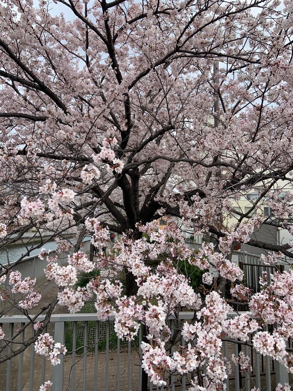 清澄白河の桜_1_1-2