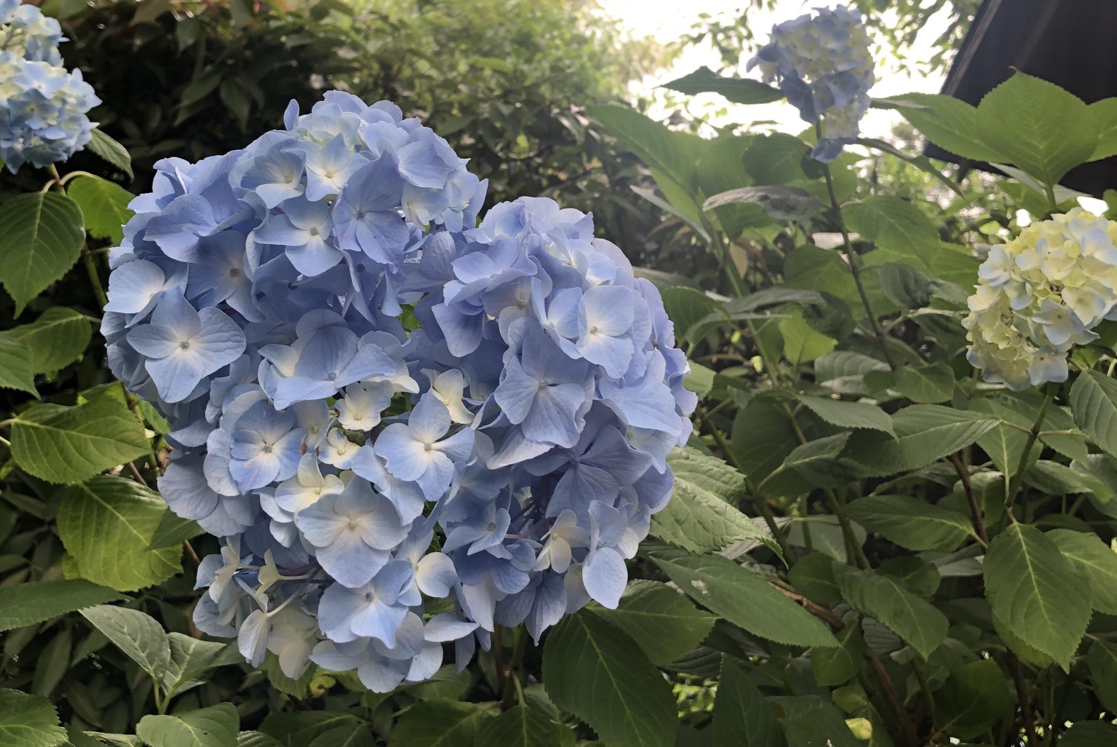 紫陽花ならここ!!関東のオオスメスポット☺︎_1_1-1