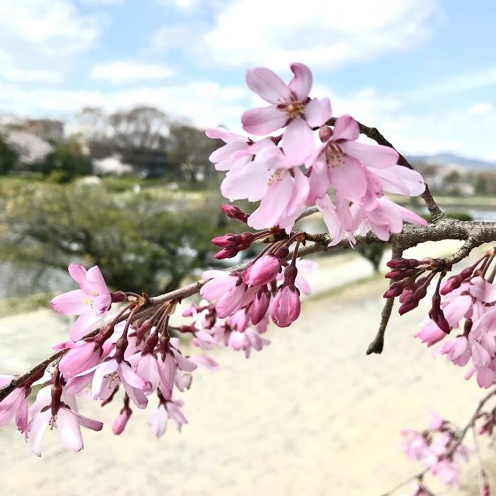 京都『桜』便り_1_3