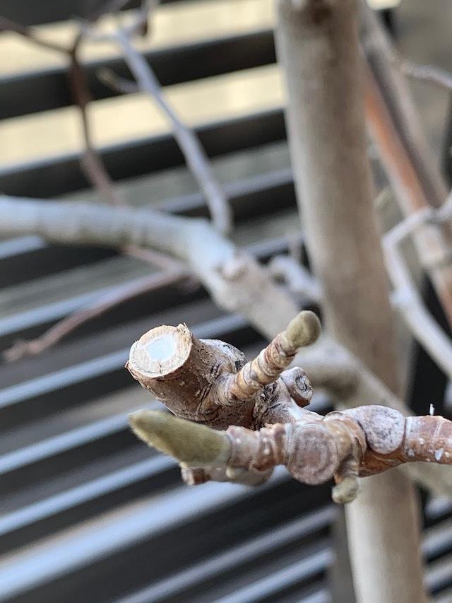 マグノリア 白木蓮