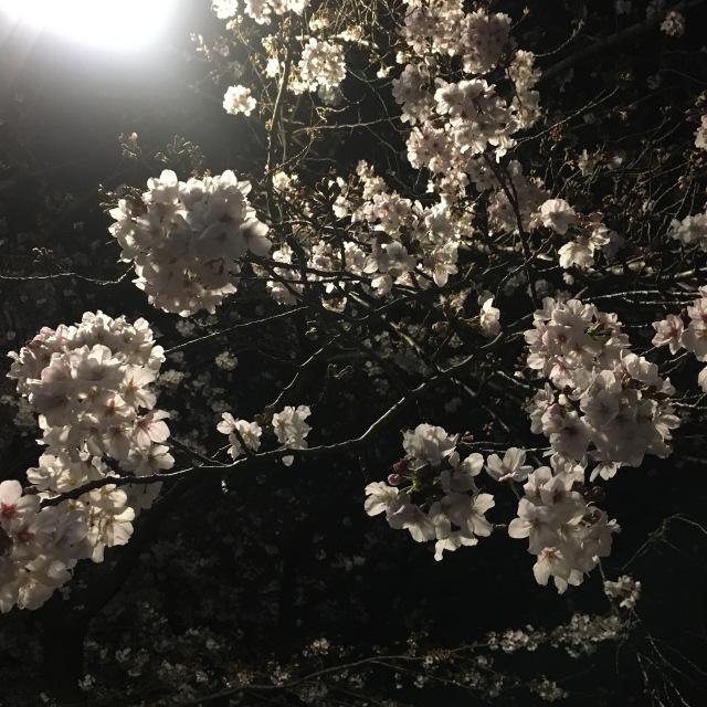 中目黒の夜桜_1_1