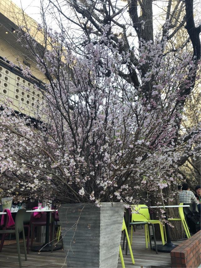 KIHACHI青山本店で桜ランチ_1_3