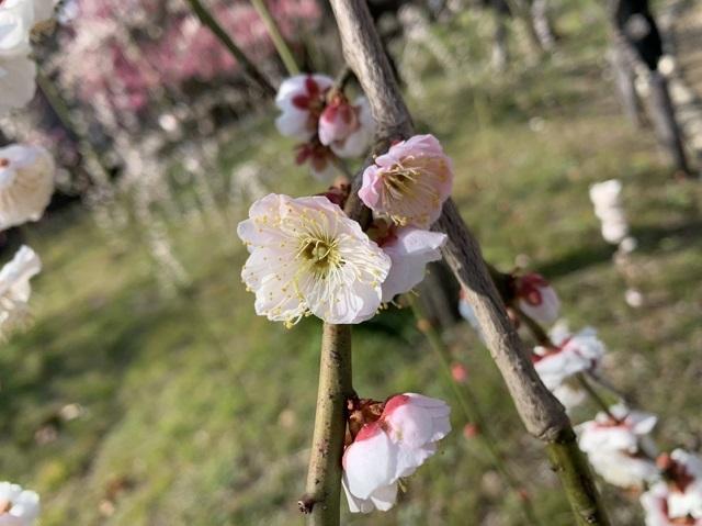 大阪城公園の梅林と至福のイチゴパルフェ_1_2-1