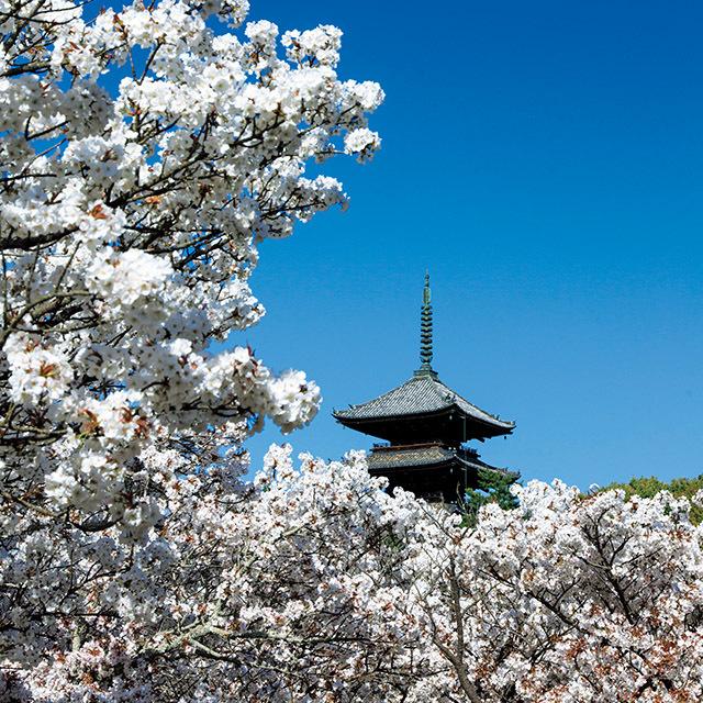 仁和寺の春は、五重塔と白い御室桜の共演が魅力
