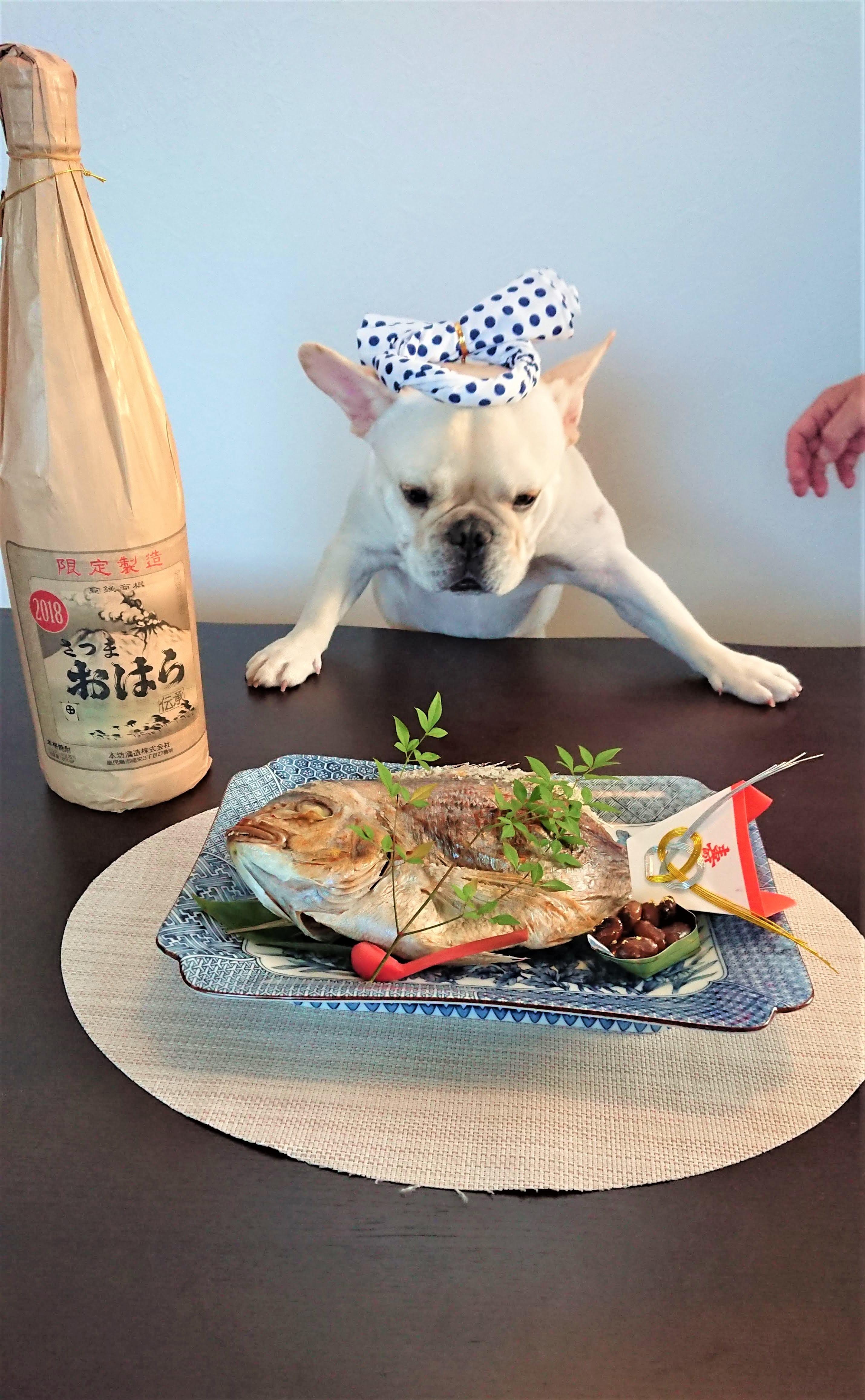 愛犬伝助 お祝いの鯛をじっと見つめる