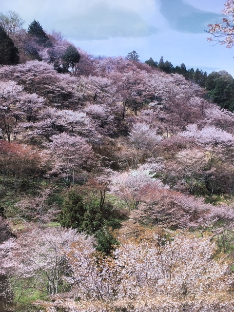 奈良吉野の千本桜と西宮夙川公園の桜♪_1_1