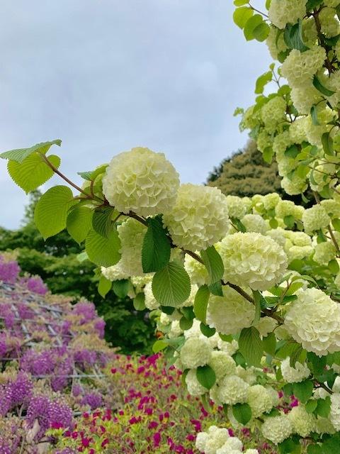 ☆「令和」元年☆藤の花のお花見でスタート!_1_3-1