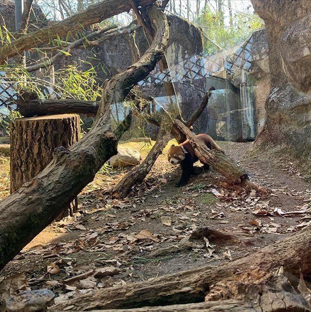 アルバムを振り返るたびに癒される可愛さ!多摩動物公園のレッサーパンダ_1_3