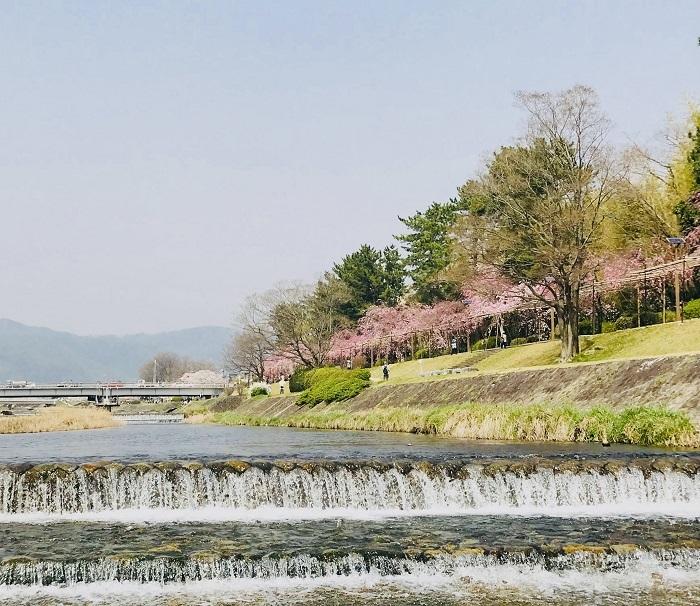 京都『桜』便り_1_4