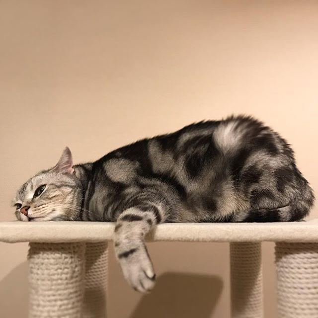 キャットタワーで面白いポーズで寝ているアラン