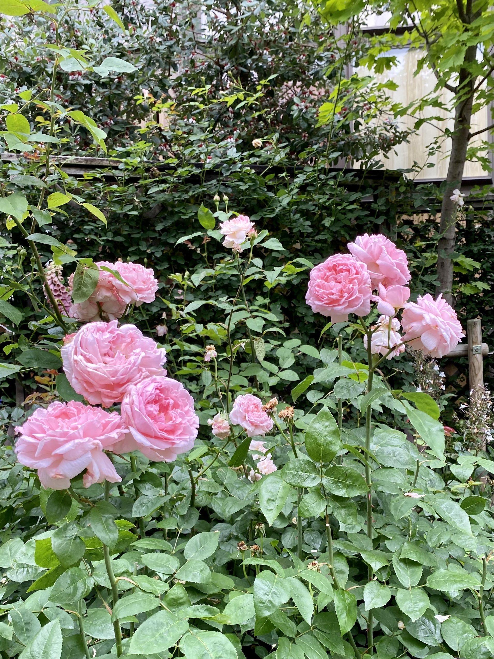玉川高島屋ローズガーデンの薔薇