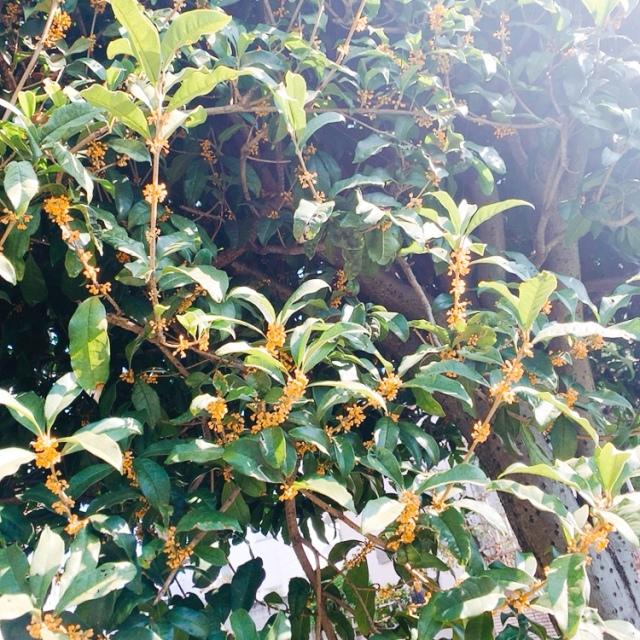 金木犀の香りが運んでくる秋の知らせ_1_1-2