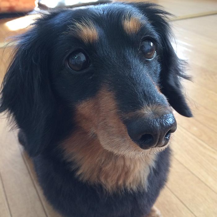 Mダックス フクちゃん dachshund fuku