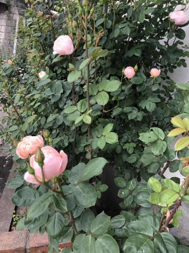 バラを育てる喜び_1_2