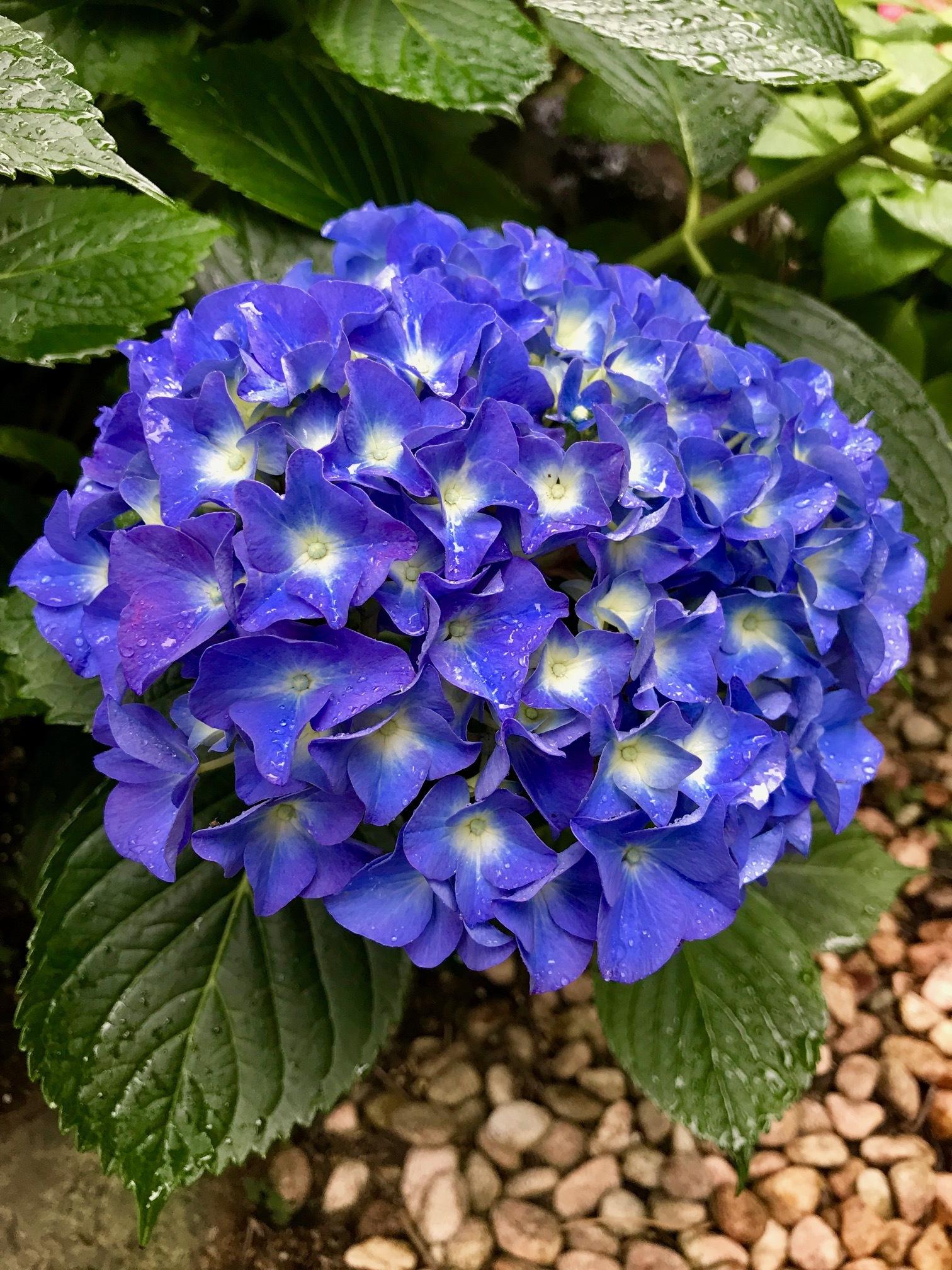 雨露を抱いた青い紫陽花