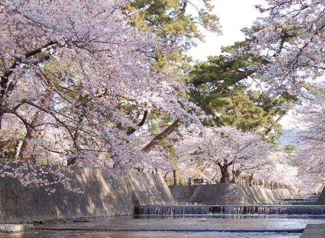 奈良吉野の千本桜と西宮夙川公園の桜♪_1_3