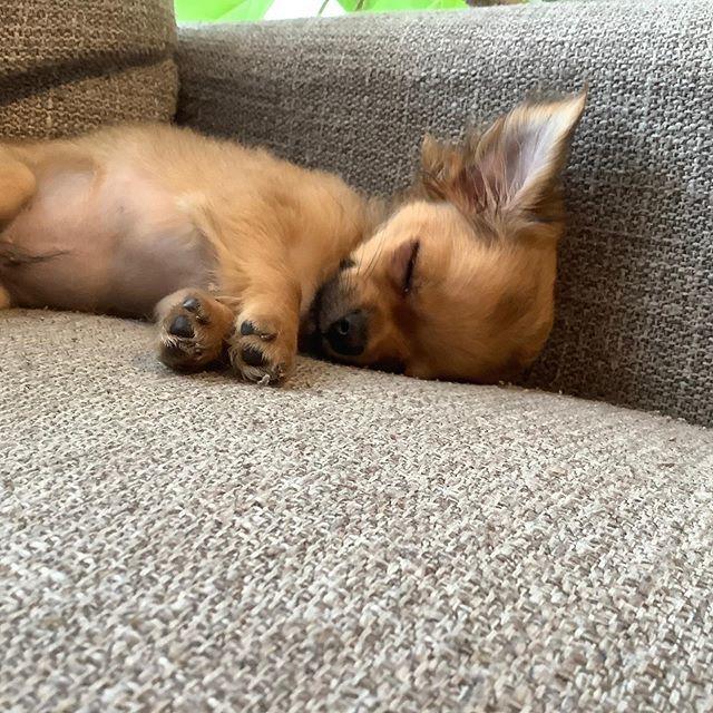 愛犬チワワの寝姿4連発!在宅ワークの癒し♡_1_1