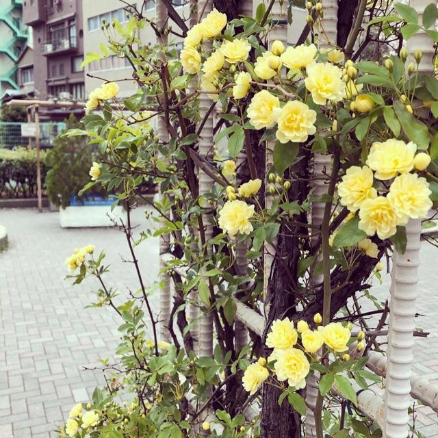 桜と小バラと手作りマスク。_1_2