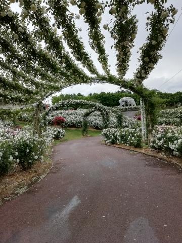 白いバラのアーチ