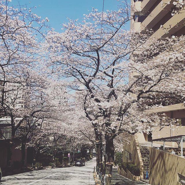 六本木のアークヒルズ周りの桜並木
