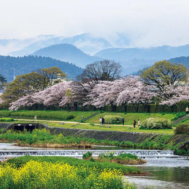 「賀茂川の桜」  京都人がこよなく愛する散策路