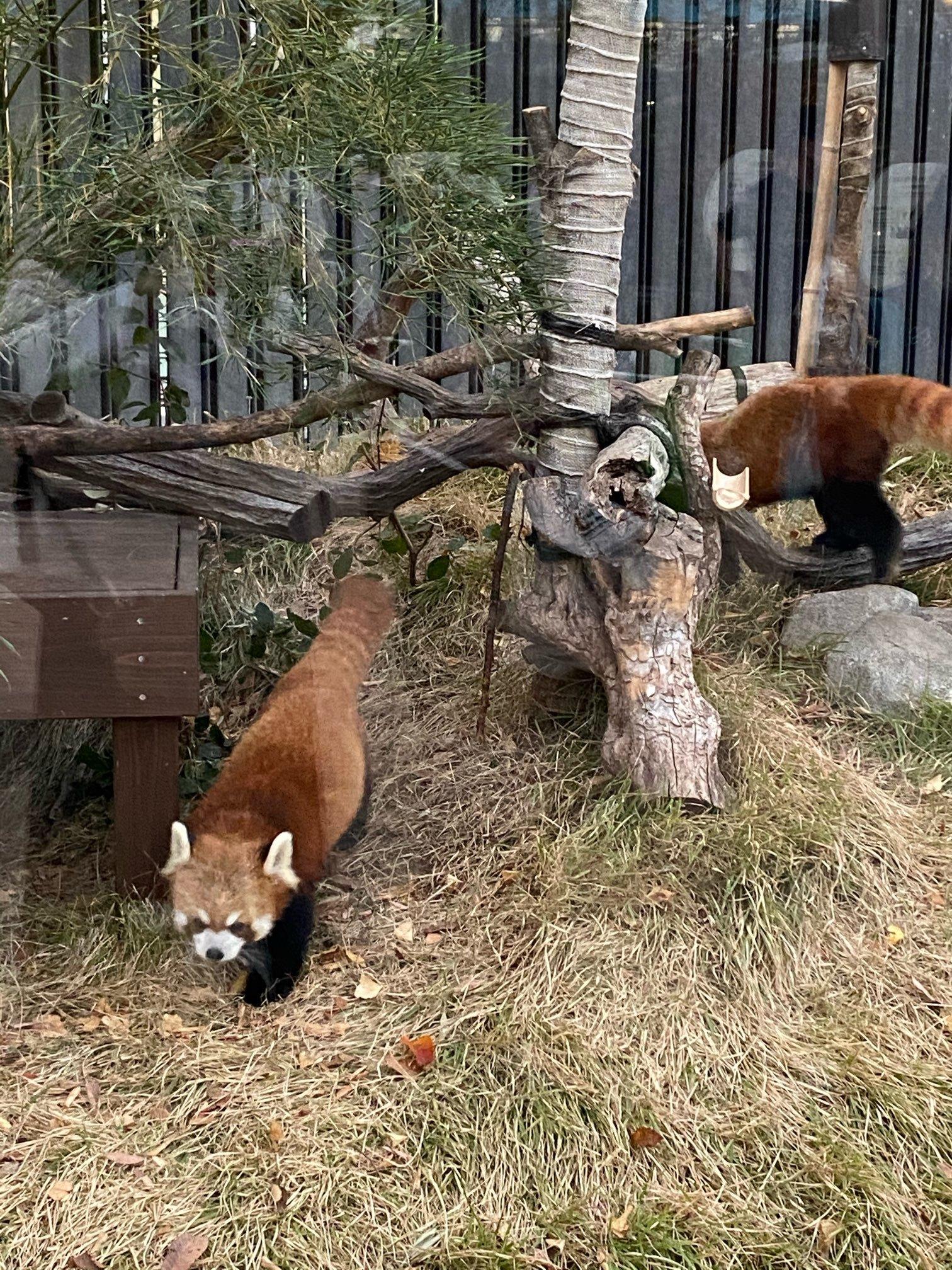 【上野動物園】シャンシャンが帰国する前に!!_1_1-1