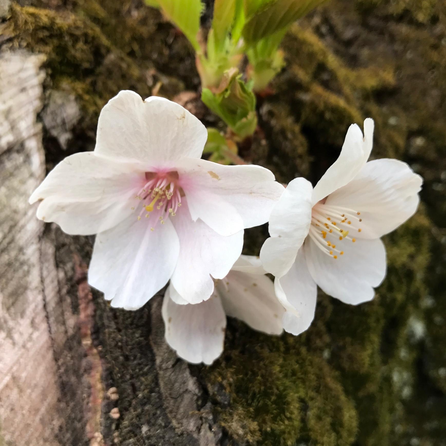 桜の季節ですね…♡_1_3