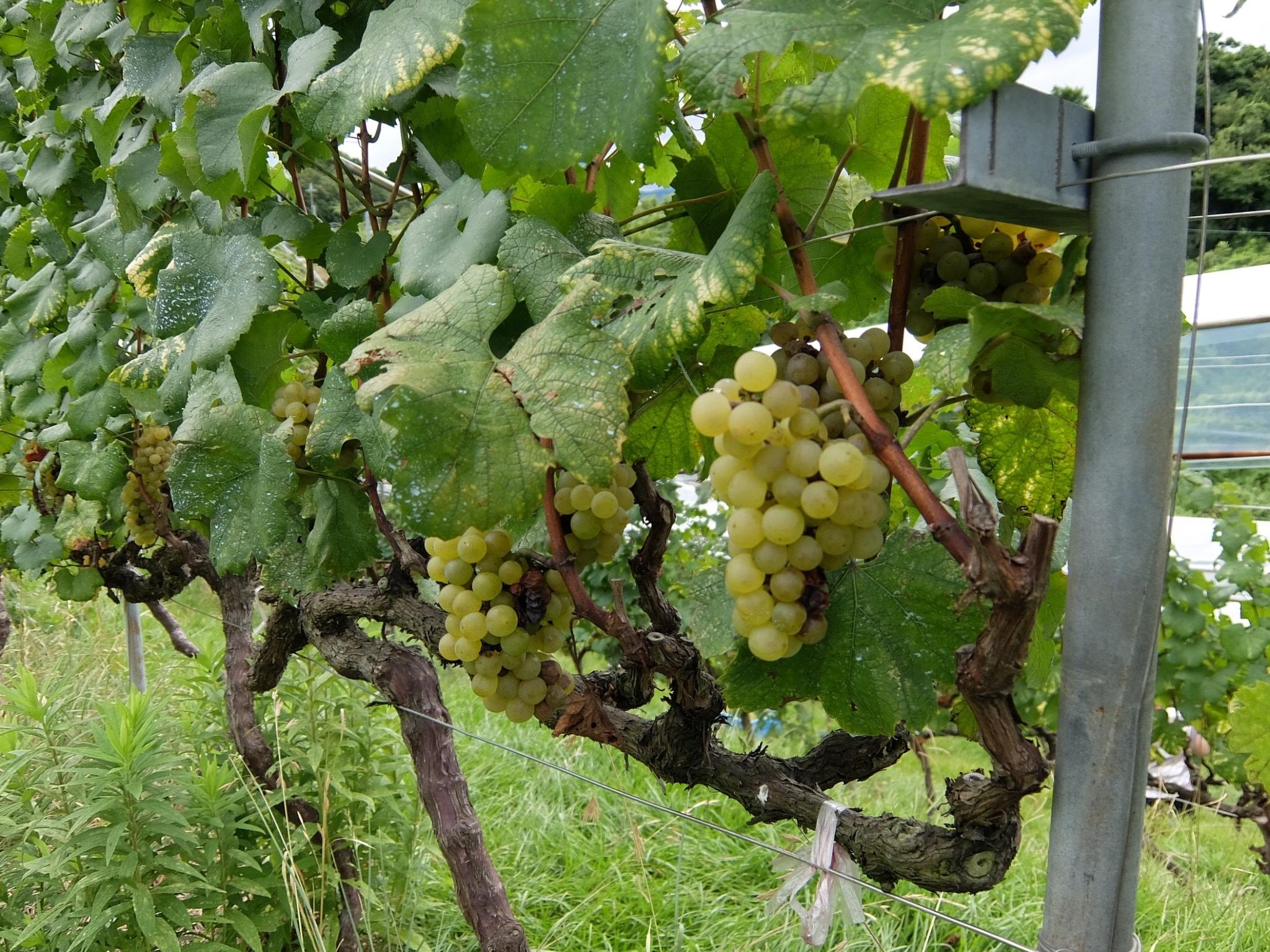 オリジナルワインを造る①_1_2