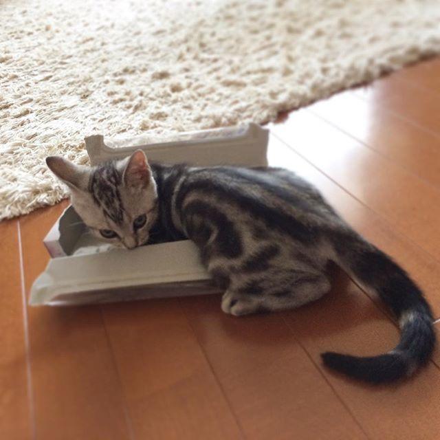 子猫のころから箱がスキ!_1_4