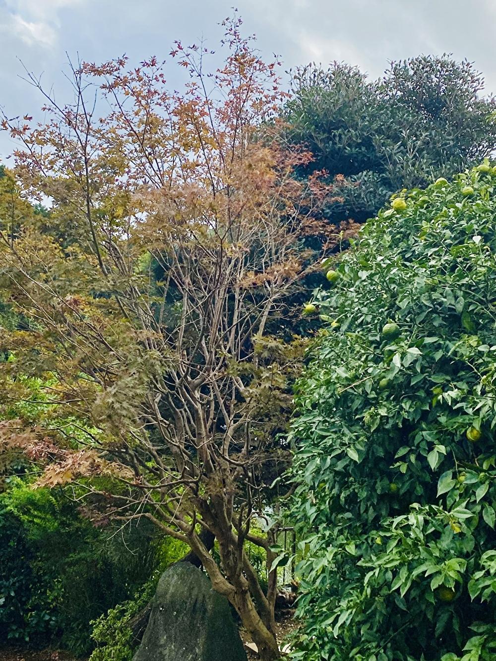 お庭の柚子の木と紅葉の木!