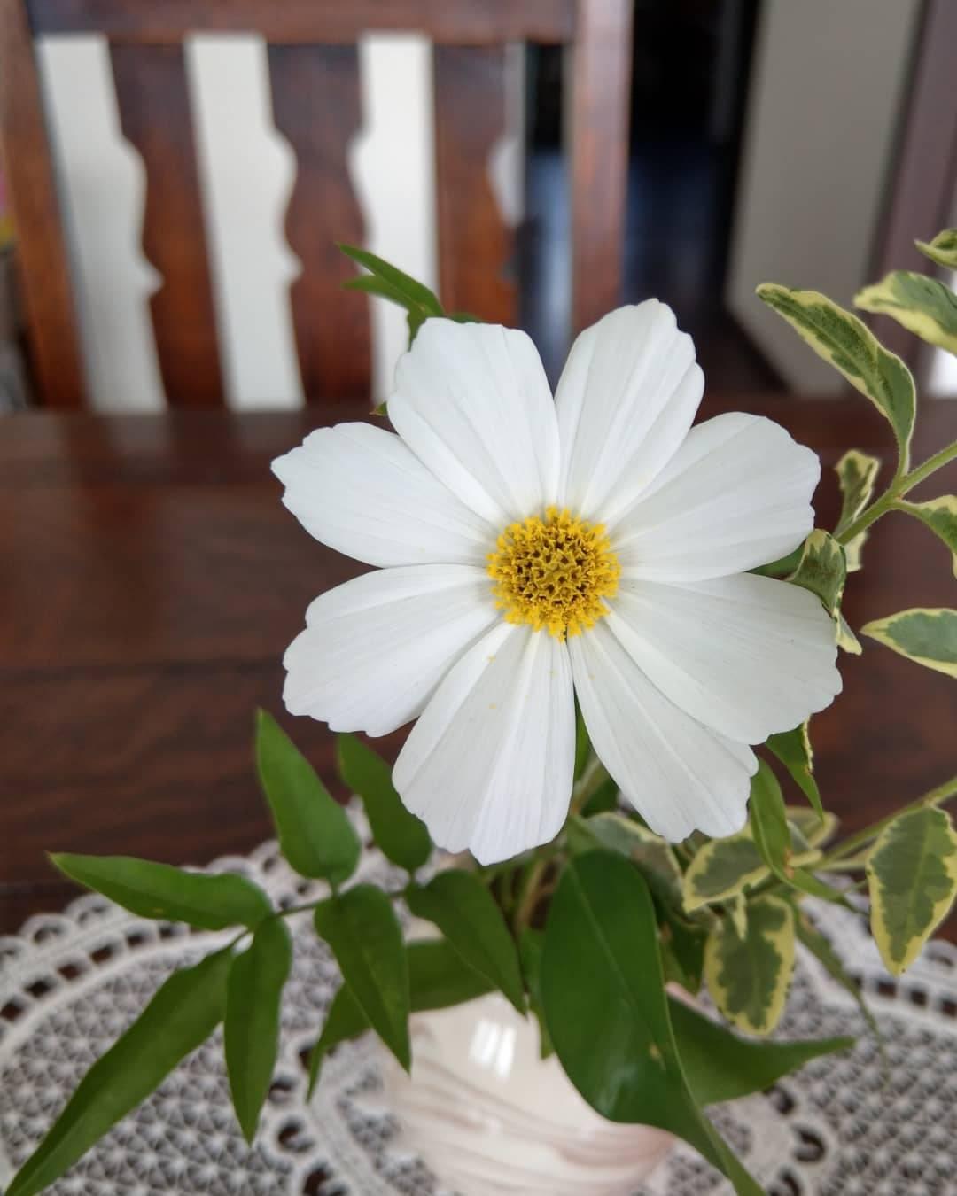 お庭のコスモスを一輪テーブルに飾るだけでも可愛い