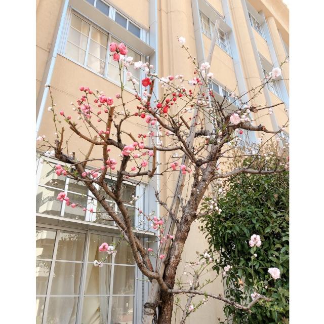 1本の木から色々な色の花が咲いている桃の木