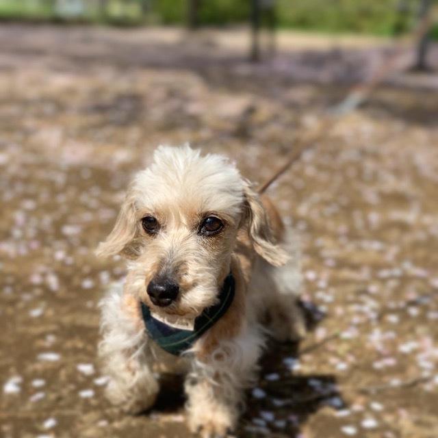 桜 散歩 愛犬