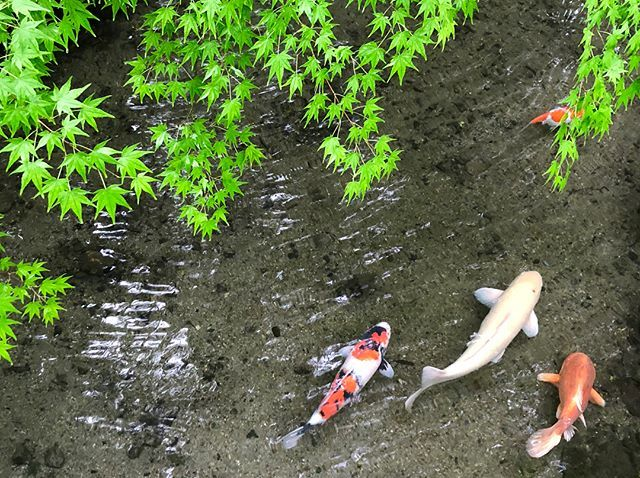 6月の京都。青紅葉、苔庭、紫陽花。_1_3