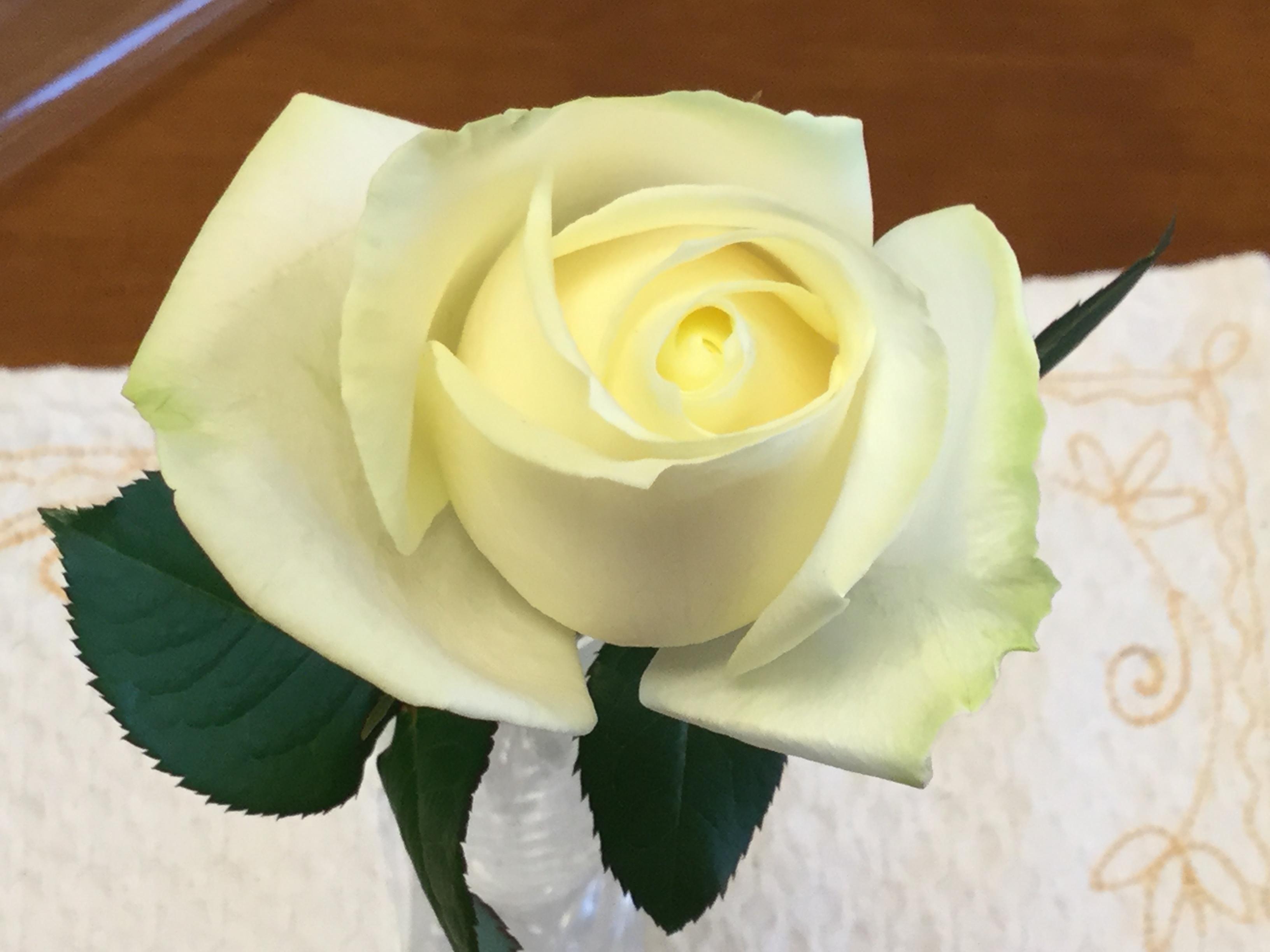 白いバラ_1_1