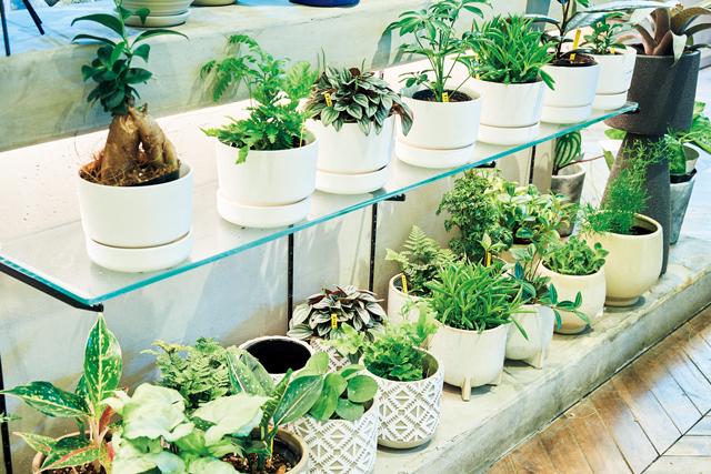 ガジュマルなど幸運を呼ぶミニ植物も人気。