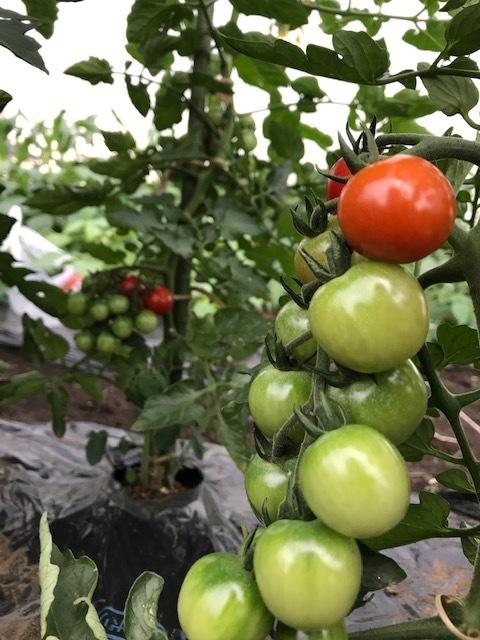 毎年一番おいしくできる自慢のトマト。