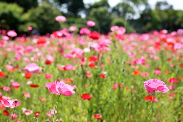 Jマダムの花物語:一面の花に癒されて_1_1