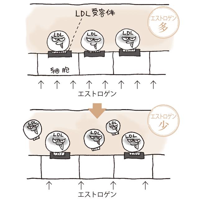 エストロゲンが減るとLDL受容体が減り、LDLコレステロールが増える