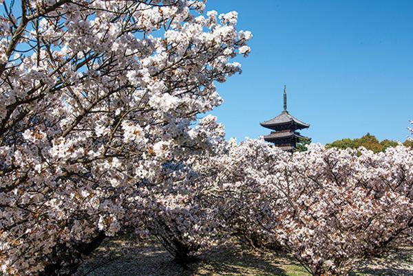 """一生に一度は愛でたい、京都の""""名桜""""【「京都」桜にまつわる10の愉しみ】_1_2-3"""