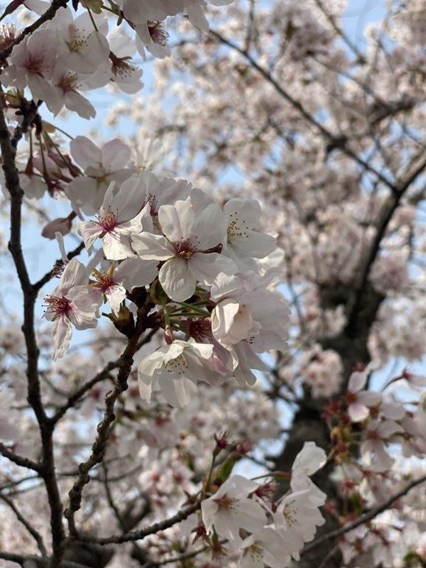 桜のクローズアップ