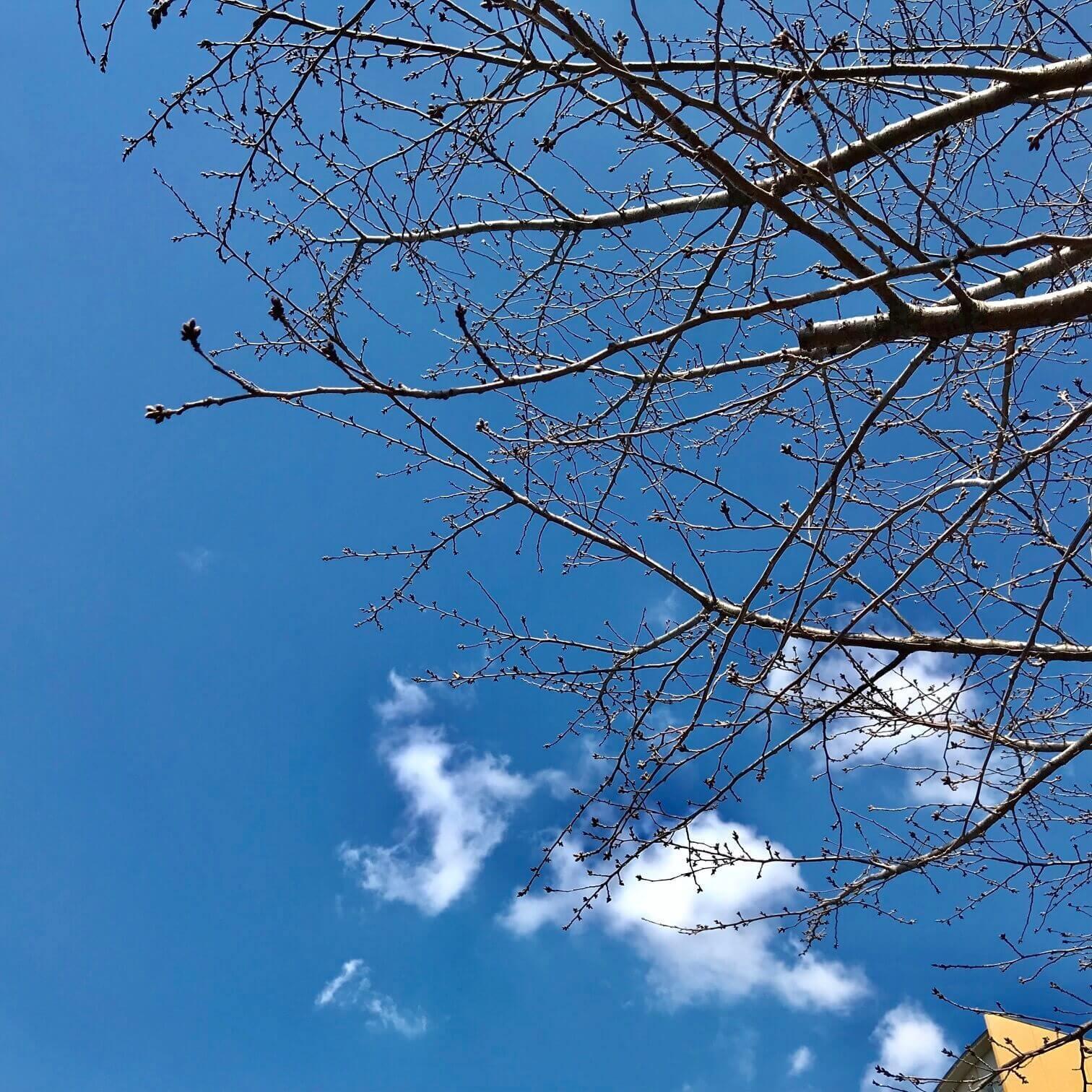 桜のつぼみ画像