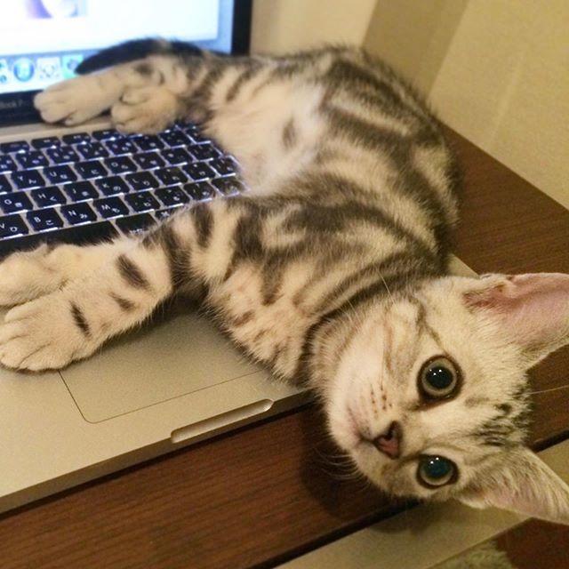 パソコンの上に寝転がる子猫のアラン