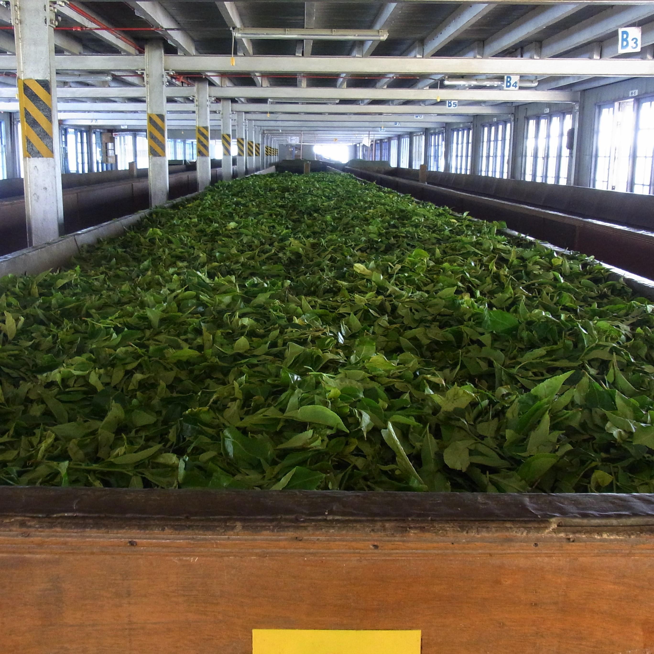 紅茶畑と工場@スリランカ_1_4