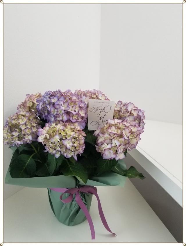 また今年も紫陽花の季節がやって来ました♪_1_1