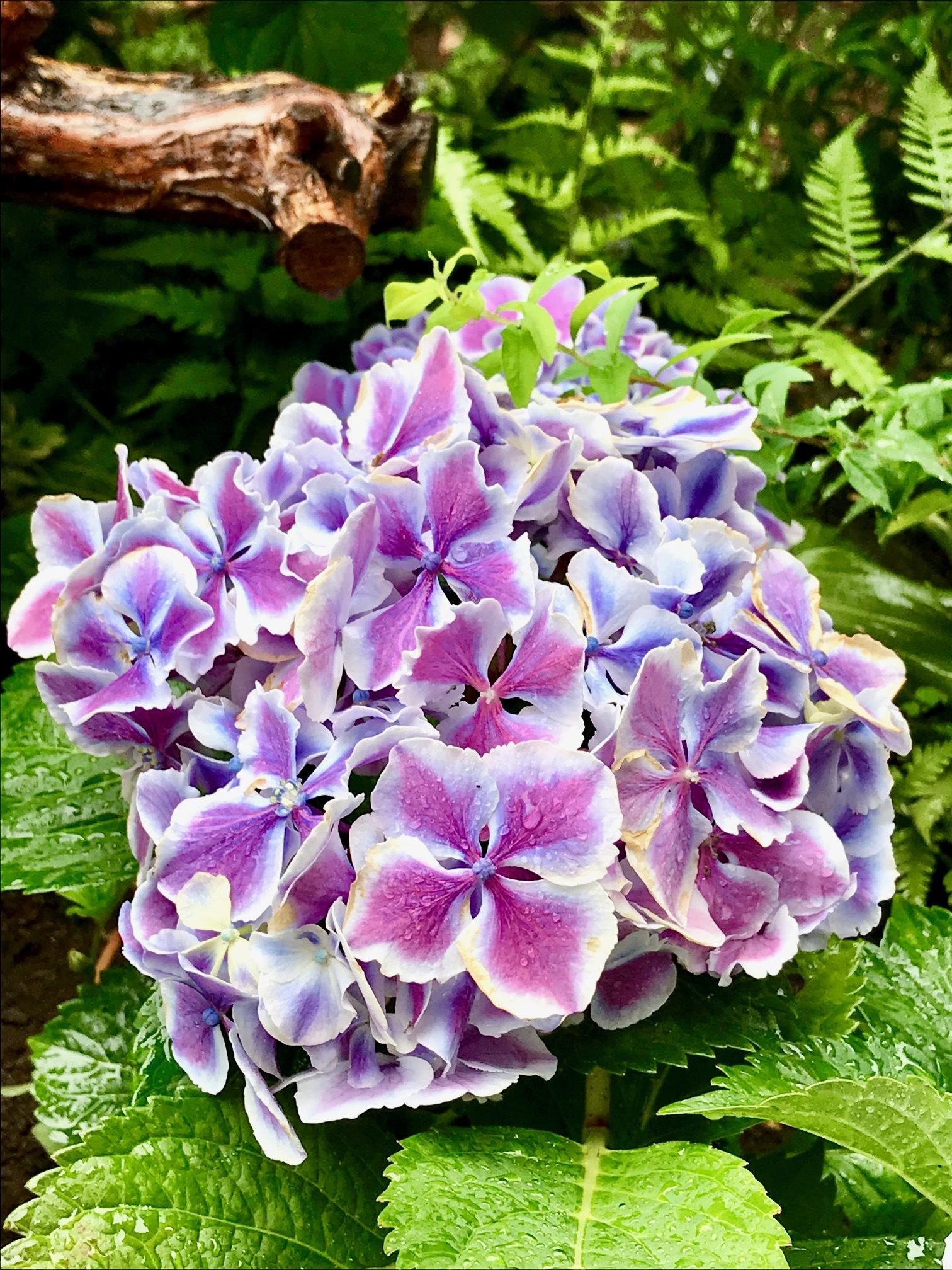エレガントな紫陽花
