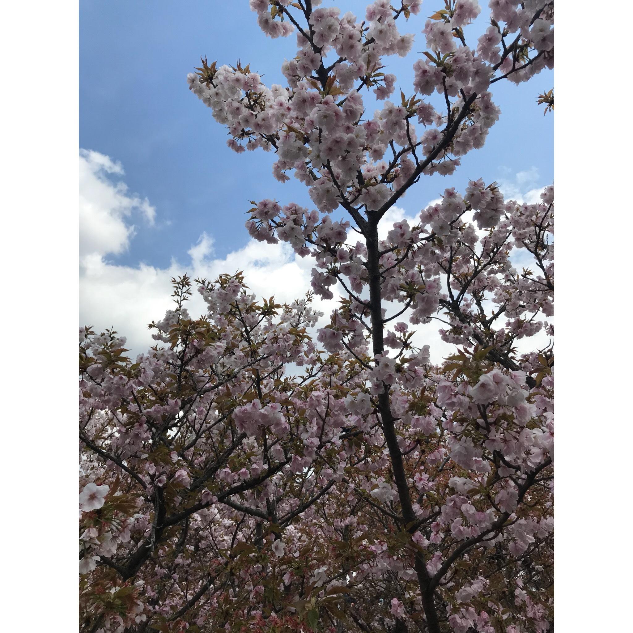 京都 仁和寺。低気温な日のお花見はパーカーが大活躍!_1_3-4
