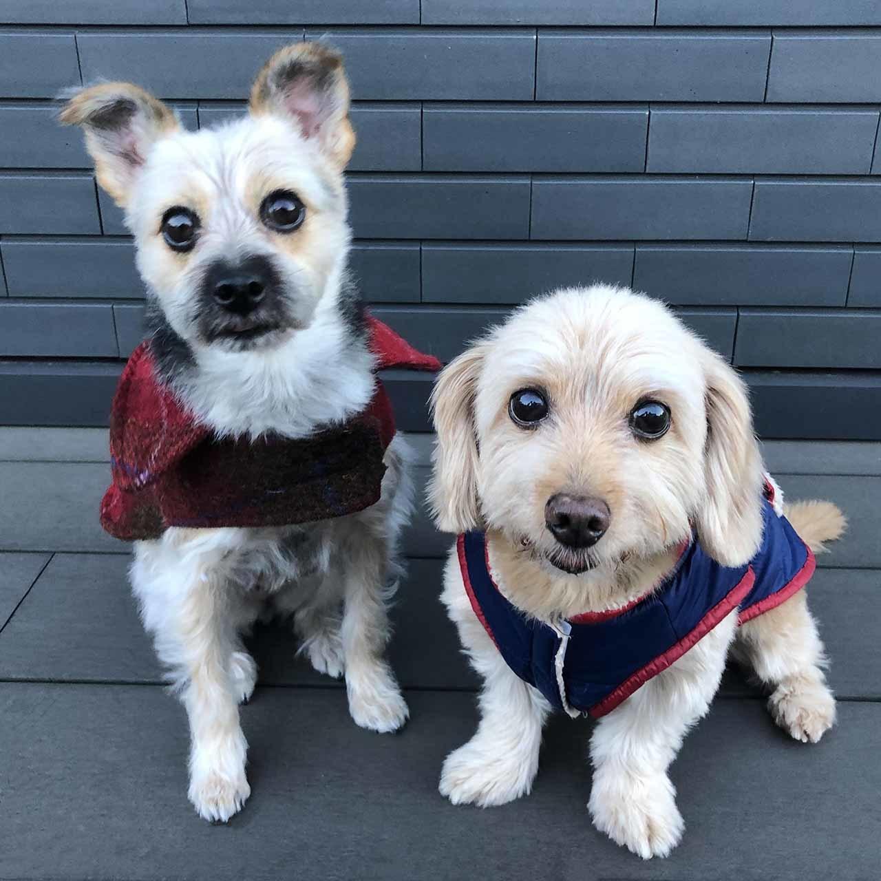 冬服を着た保護犬のポールとケイト