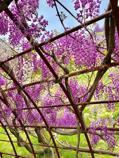 ☆「令和」元年☆藤の花のお花見でスタート!_1_3-2